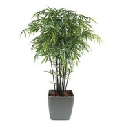 Black bamboo 12 sticks + pot.